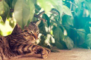 Tabby cat resting under a bush