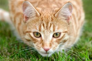 Tabby cat focusing on bird or other prey before pouncing