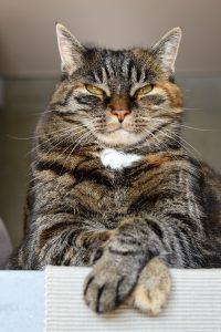 senior tabby cat