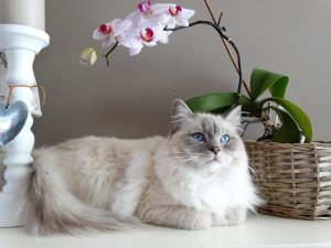 longhaired breed cat