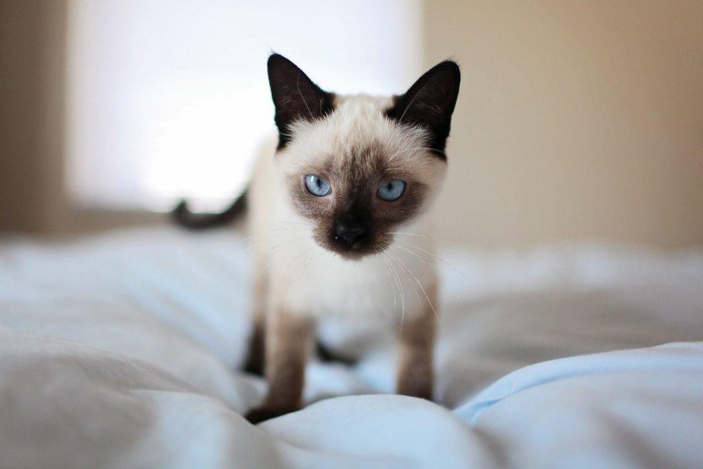 siamese breed kitten