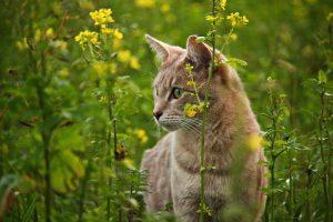 Cat hunting in a field