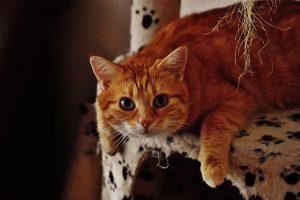 orange tabby cat on cat tree