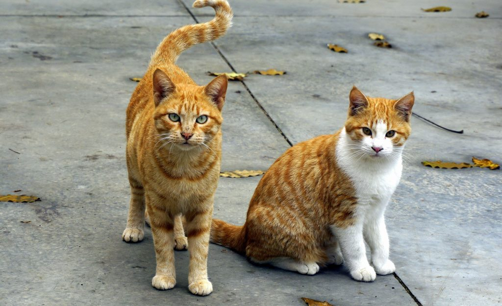 two ginger tabbies