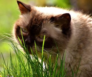 British Shorthair cat sniffing grass