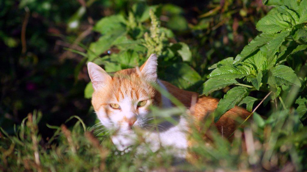 Orange & White Cat in foliage