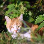 Orange & White Cat in Foliage- what is natural flea treatment for him