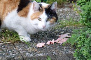 Calico cat guarding it's food