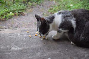 cat eating outside