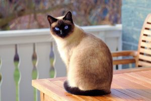 siamese cat sitting on table