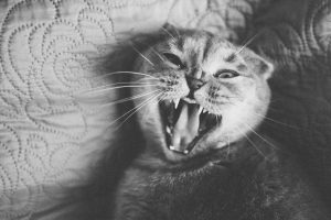 cat yawning, angry or in pain