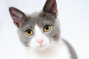 Grey & white adolescent cat