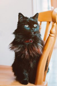 Maine Coon longhaired black cat sitting on a chair; needs special litter