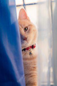 orange tabby behind a curtain