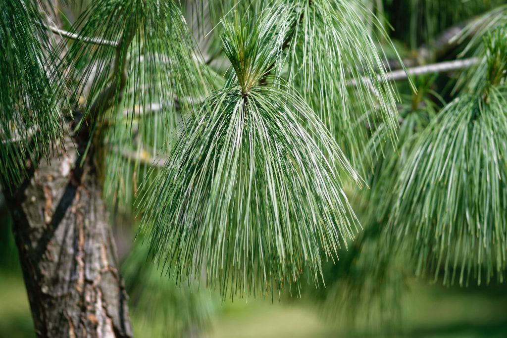 pine tree for cat litter