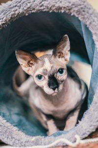 Sphynx cat after flea spray