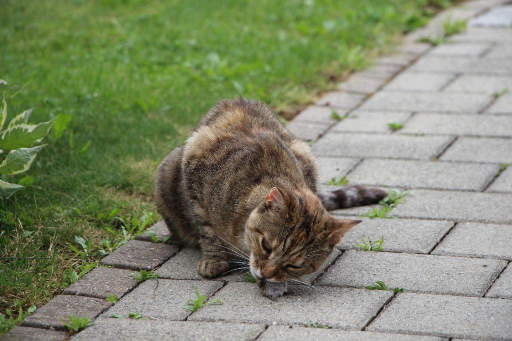 outside cat eating