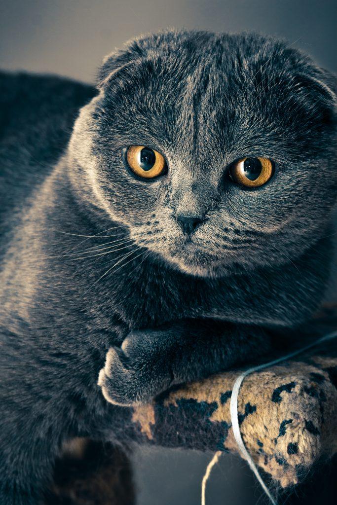 blue possible scottish fold cat