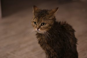 Wet Peeved Tabby Cat