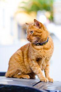 Ginger cat wearing a flea collar