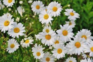 Daisies - used in essential oils