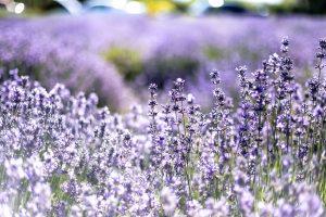 lavender-good plant to repel fleas