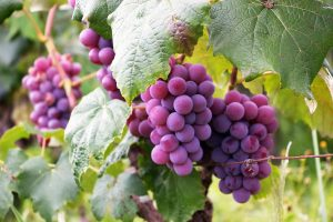 grapes have phenols