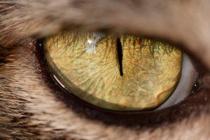 close up of golden cat's eye