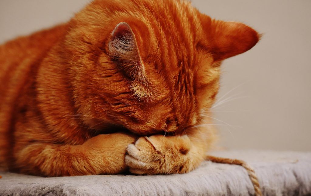 ginger tabby cat hiding his face