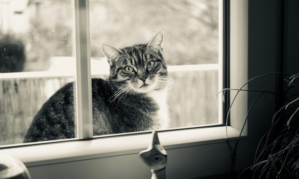 cat looking in window