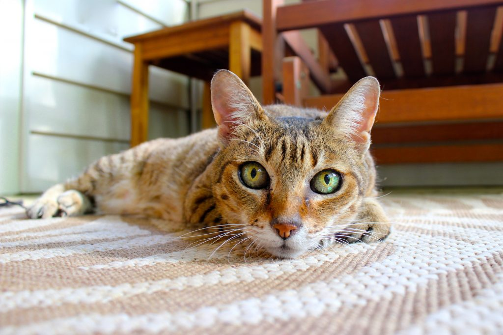 tabby cat lying on a rug-floors are often places where cat urine needs to be cleaned