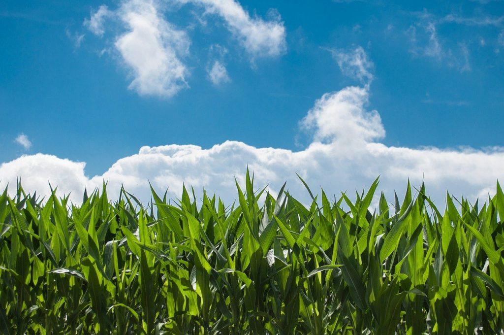 cornfield under a blue sky