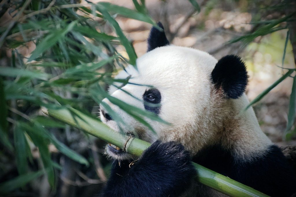 panda chewing on bamboo plant