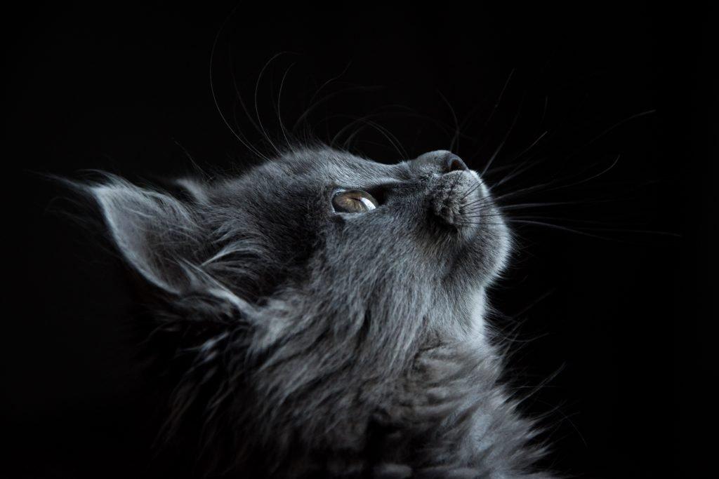 blue show cat
