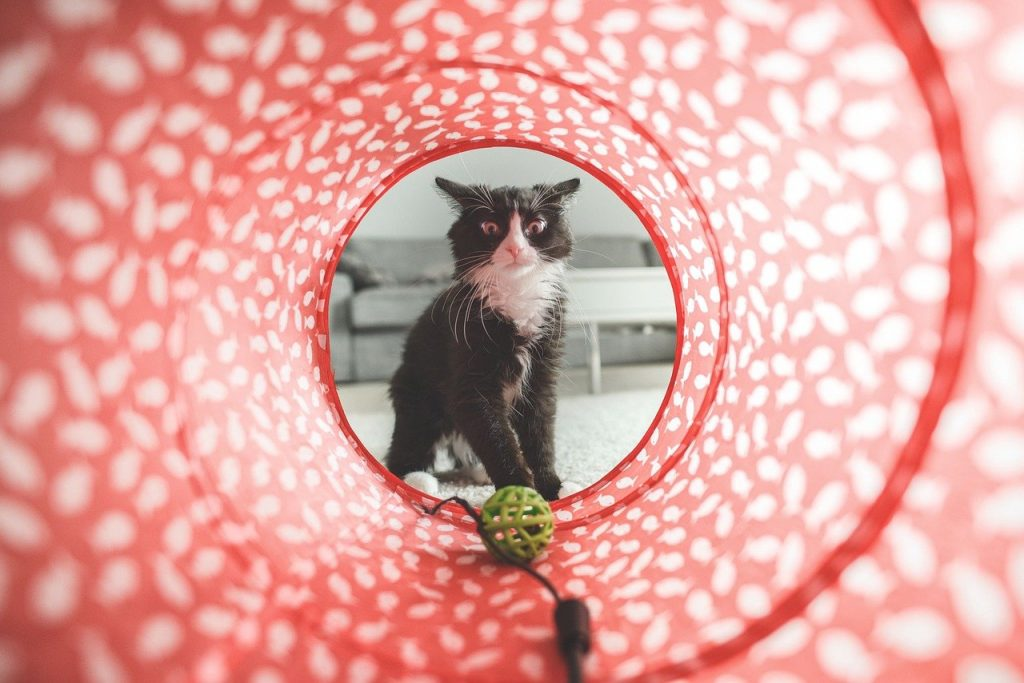Cat looking into agility tunnel