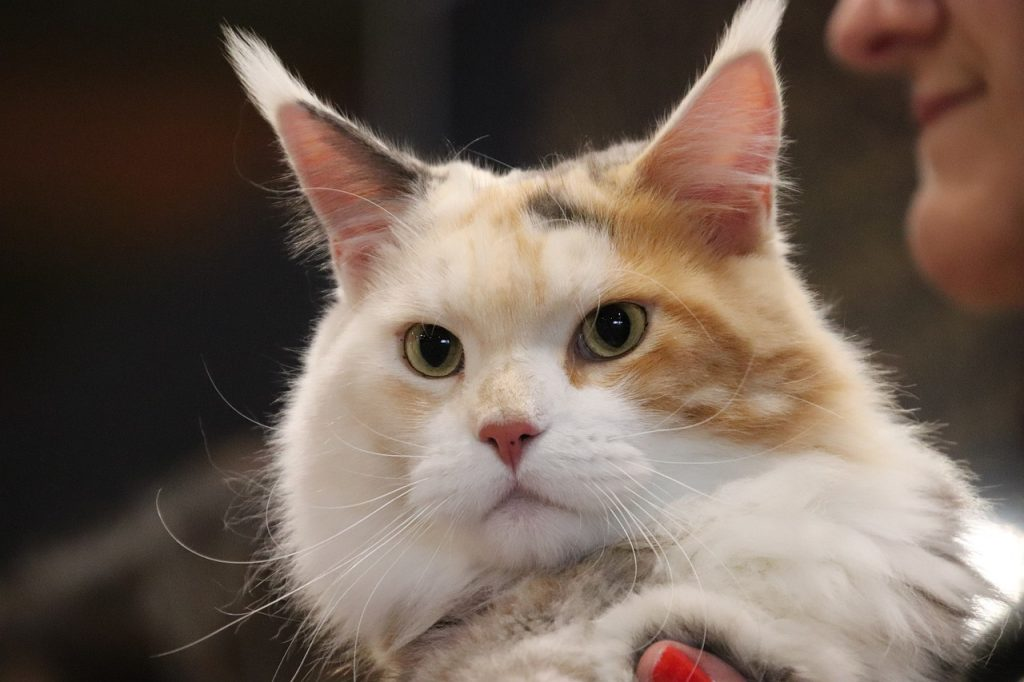 Maine Coon Cat at show