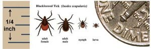 Deer tick comparison chart
