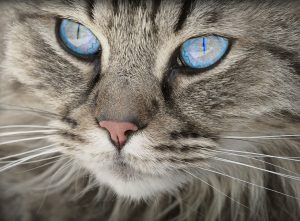 silver tabby with gorgeous ice blue eyes
