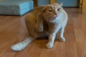 ginger cat scratching