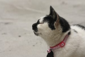 White with black cat wearing pink collar