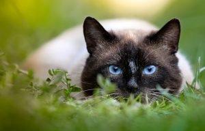 Tonkinese purebred cat hunting