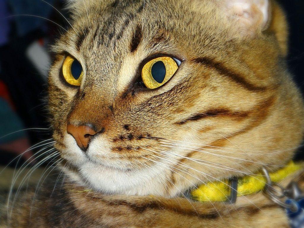 tabby wearing collar
