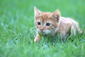 kitten hunting in grass