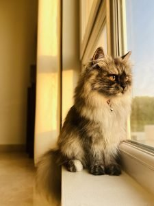 longhaired cat looking out a window