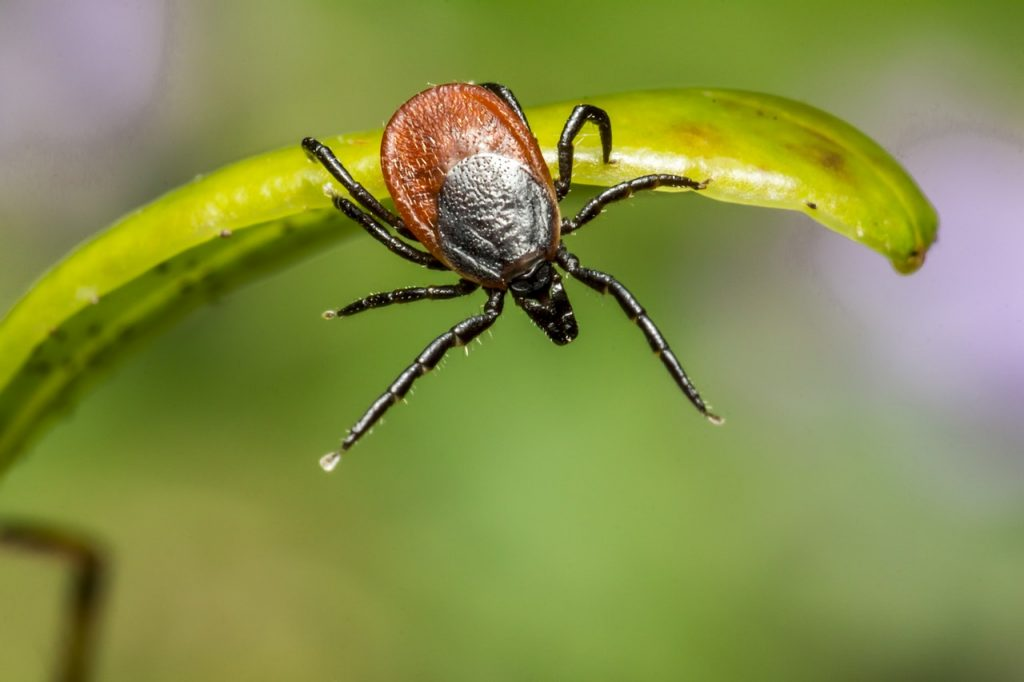 A tick questing from a blade of grass