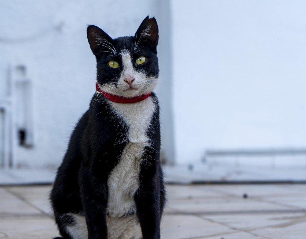 tuxedo cat wearing collar
