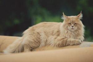 Long haired ginger sleepy cat