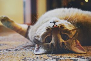 cat lying on his back