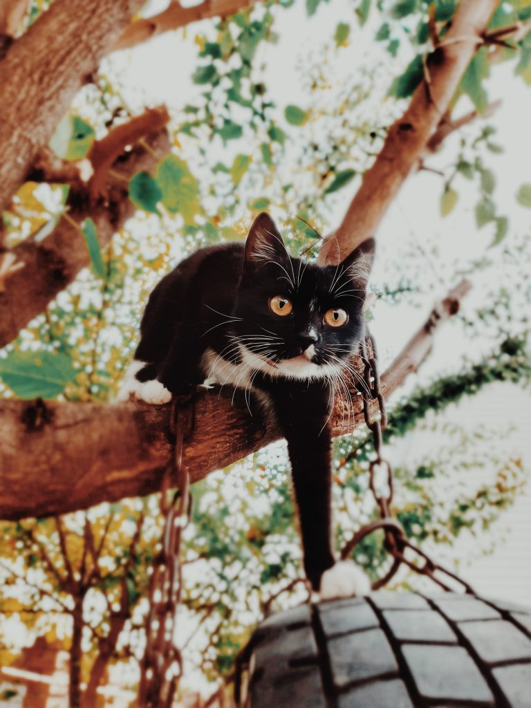 tuxedo cat in tree