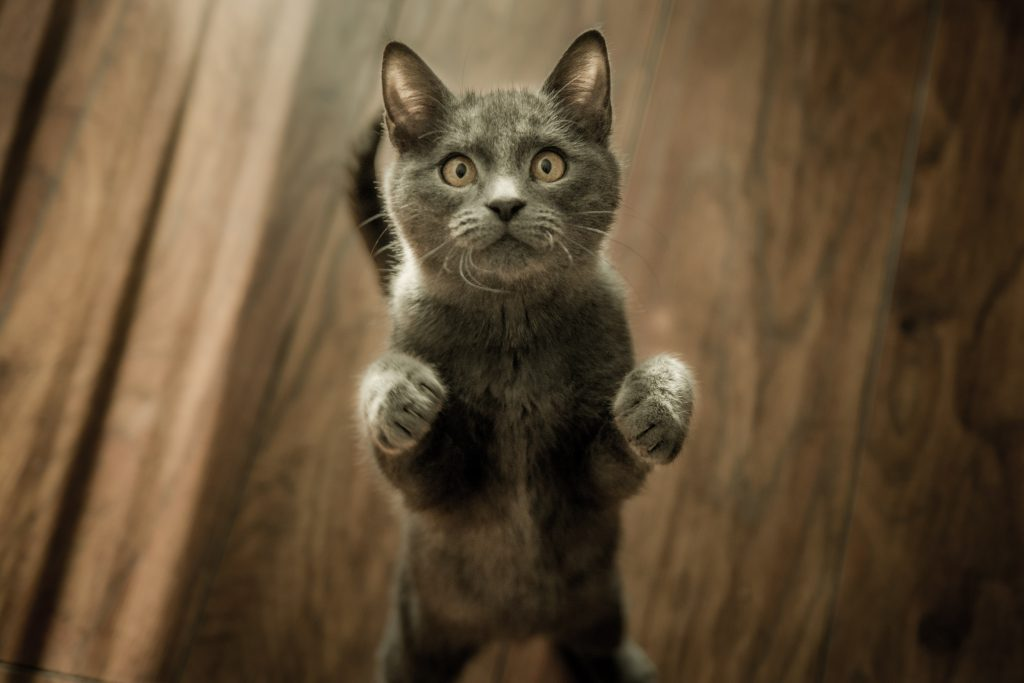 curious cat on hind legs